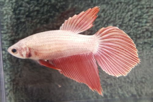 Betta - female