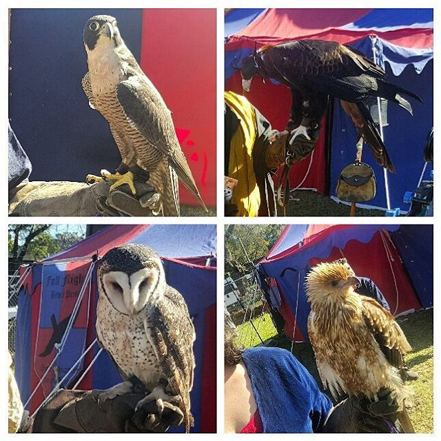 It was an amazing aerial display from Full Flight Birds of Prey Centre in Ballarat at Parramatta's Winterfest yesterday. Magnificent birds.  #birdsofprey #wedgetailedeagle #eagle #kite #hawk #owl #maskedowl #falcon #peregrinefalcon #fullflight #huntingbirds #display #birds #Winterfest #medievalfestival #Parramatta #NSW #Sydney #Australia