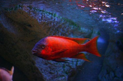 Картинки по запросу Petrochromis sp. Red
