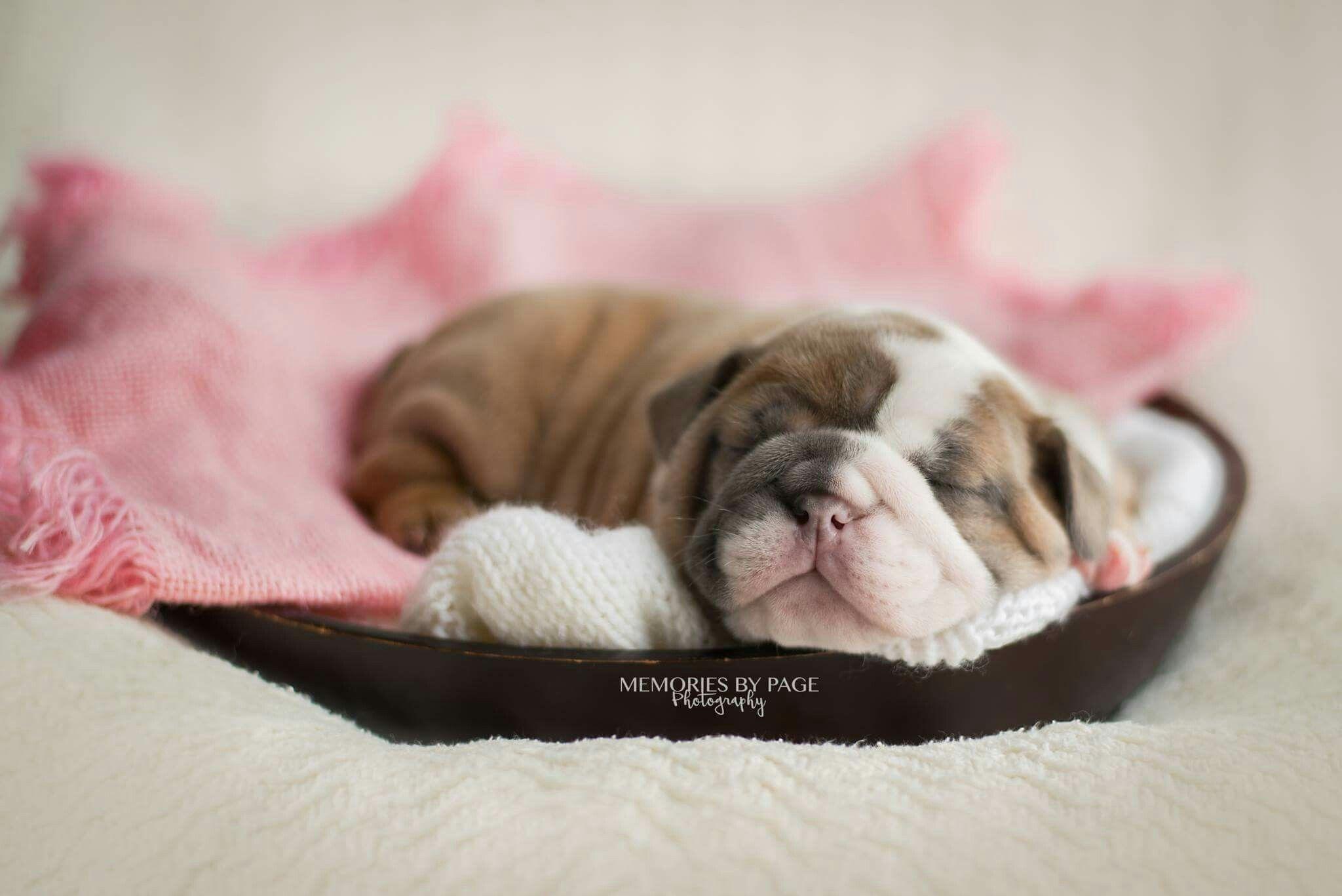 Newborn Bulldog Puppies Http Ift Tt 2p9ayoc Newborn Puppies
