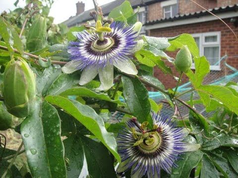 How To Root Stem Cuttings Of The Passion Flower Part 01 Youtube Passion Vine Passion Flower Plants