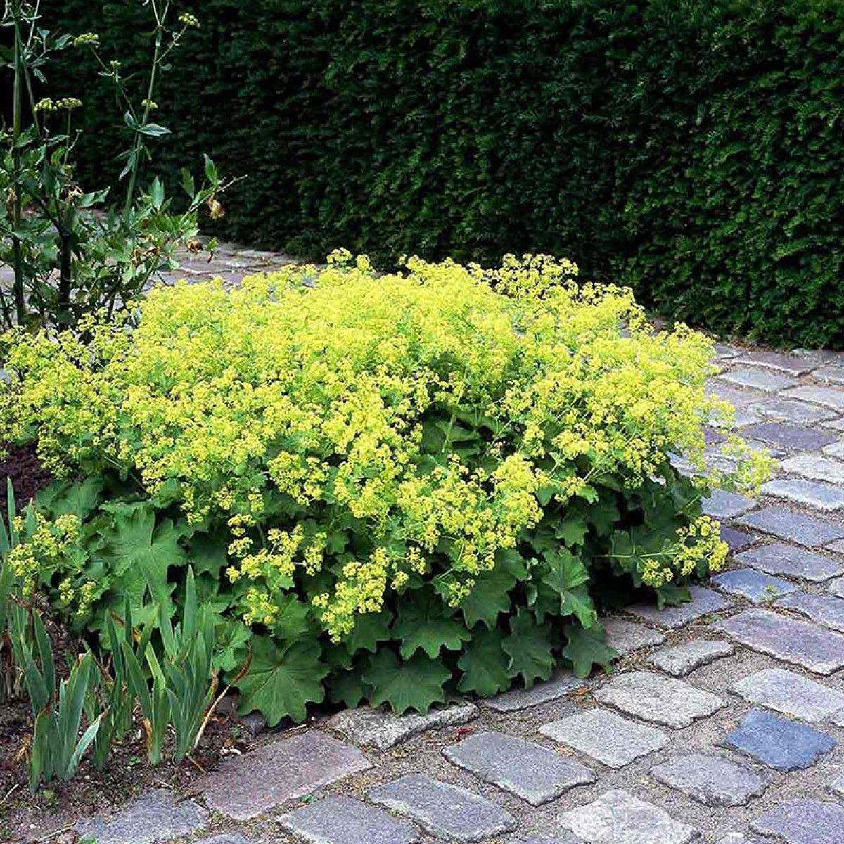 Image result for løvefod Topiary garden, Alchemilla