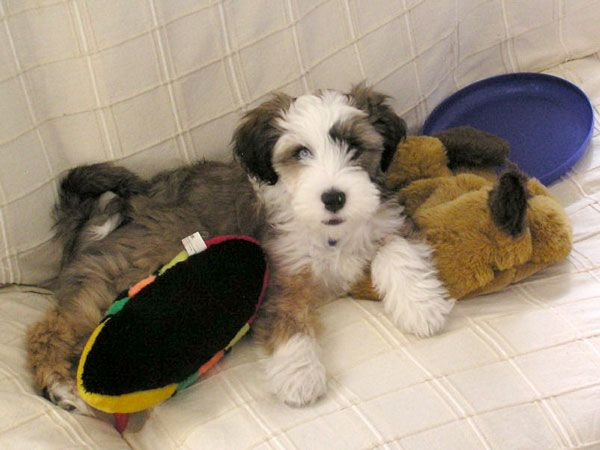 Pet Gallery Araki Tibetan Terriers Pets Cute Dogs Tibetan Terrier