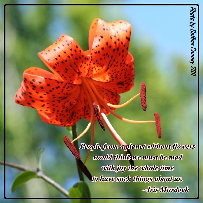 Tiger Lily With Quote About Flowers Quotes Flower Quotes