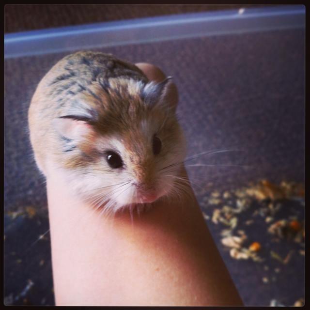 How To Care For Roborovski Dwarf Hamsters Recipe Dwarf Hamster