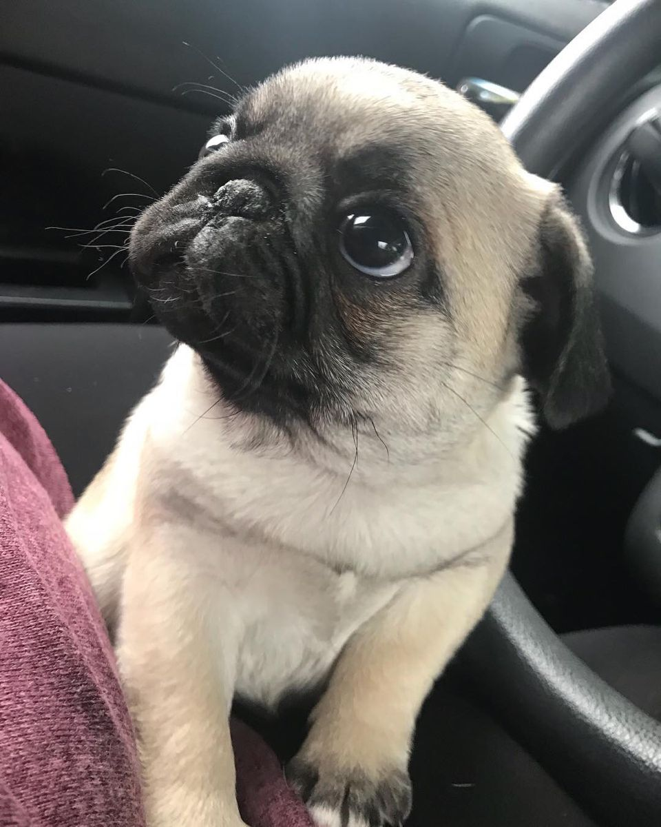 Pin By Alaina Weiss On Animal Love In 2020 Baby Pugs Cute Pugs