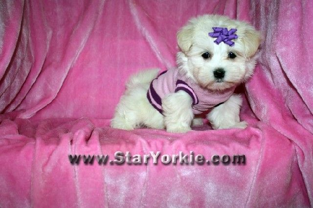 Teacup Puppies For Sale In Los Angeles Teacup Puppies Puppies For Sale Teacup Puppies For Sale