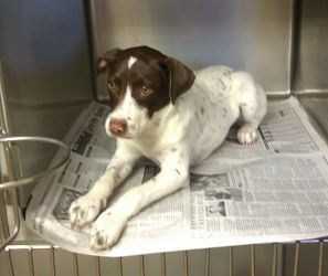 Adopt Quille On German Shorthaired Pointer Gsp Rescue Jack