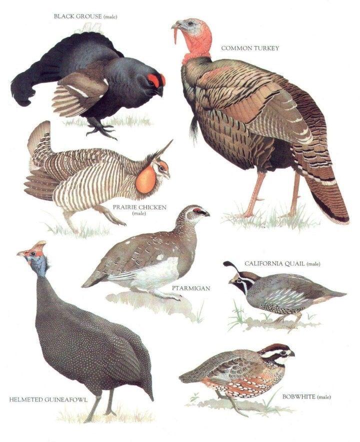 black grouse common turkey california quail bobwhite helmeted guineafowl ptarmigan