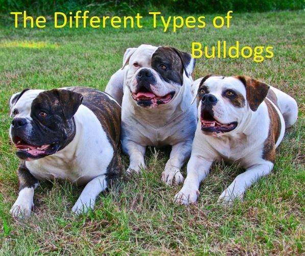A Guide To The Different Types Of Bulldogs Howtobuyinsurance