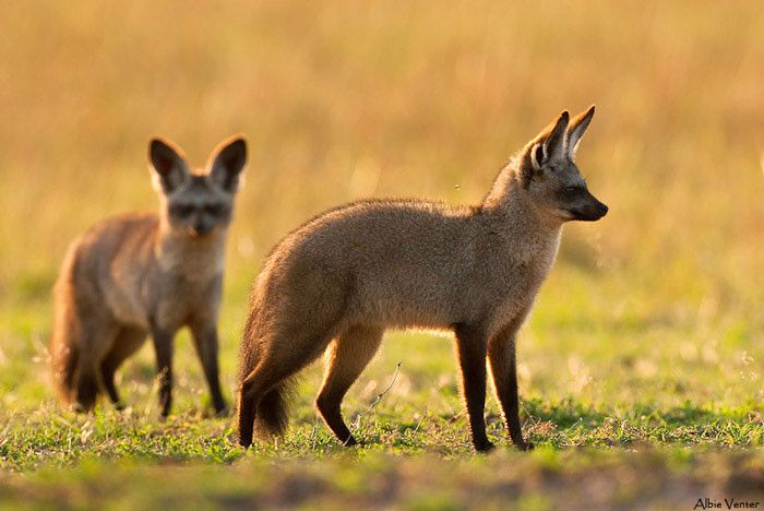 Bat-Eared-Foxes-mara