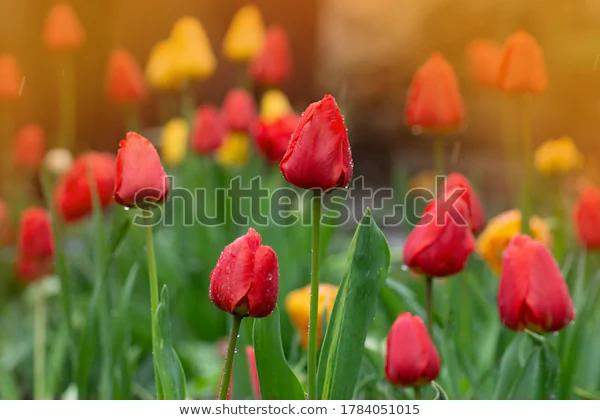 Growing Tulips Sale Tulip Flowers Field Nature Stock Image 1784051015 In 2020 Growing Tulips Flowers Tulips For Sale