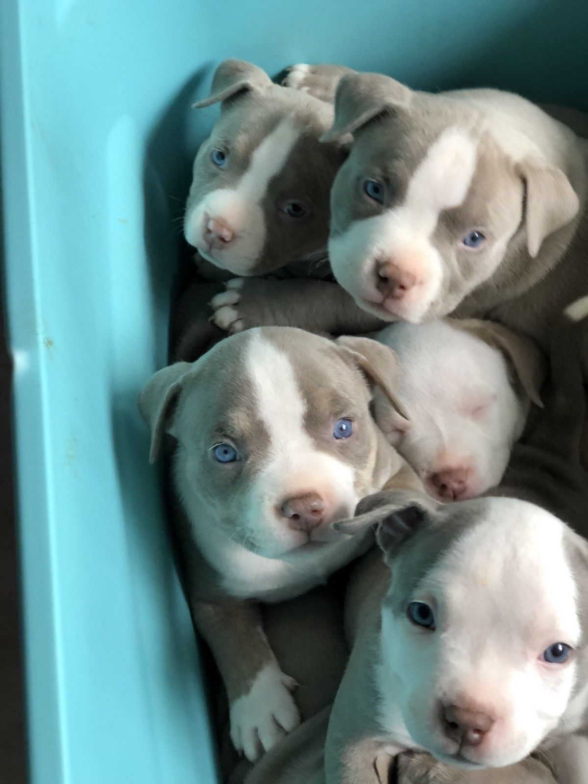 Oh What A Sweetie Purple Tri Love This Color Bully Pitbull Americanbully Bullies Pets Dogs Dax Miagi Pitbul Cute Animals Pitbull Puppies Cute Dogs
