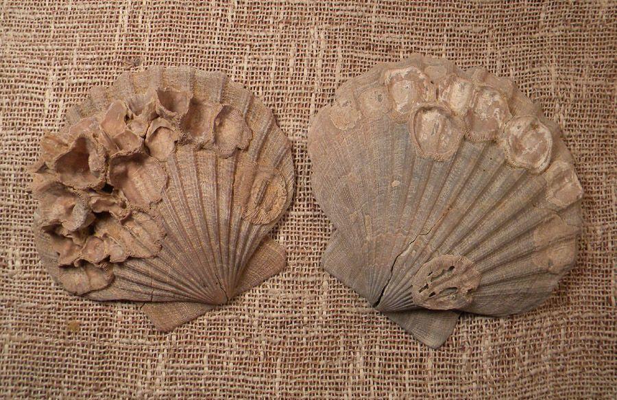 Calvert Cliffs fossils | Edge of the Sea | Pinterest | Fossil