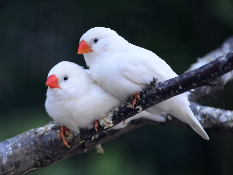 Schneeweiße Zebrafinken: Vögel mal fast ohne Farbe — Bild ...