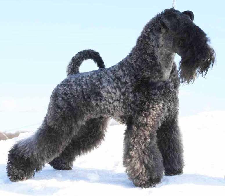 Kerry Blue Terrier Photo Kerry Blue Terrier Dog Terrier