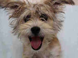 Adopt Puppy On Puppies Cairn Terrier Dog Love