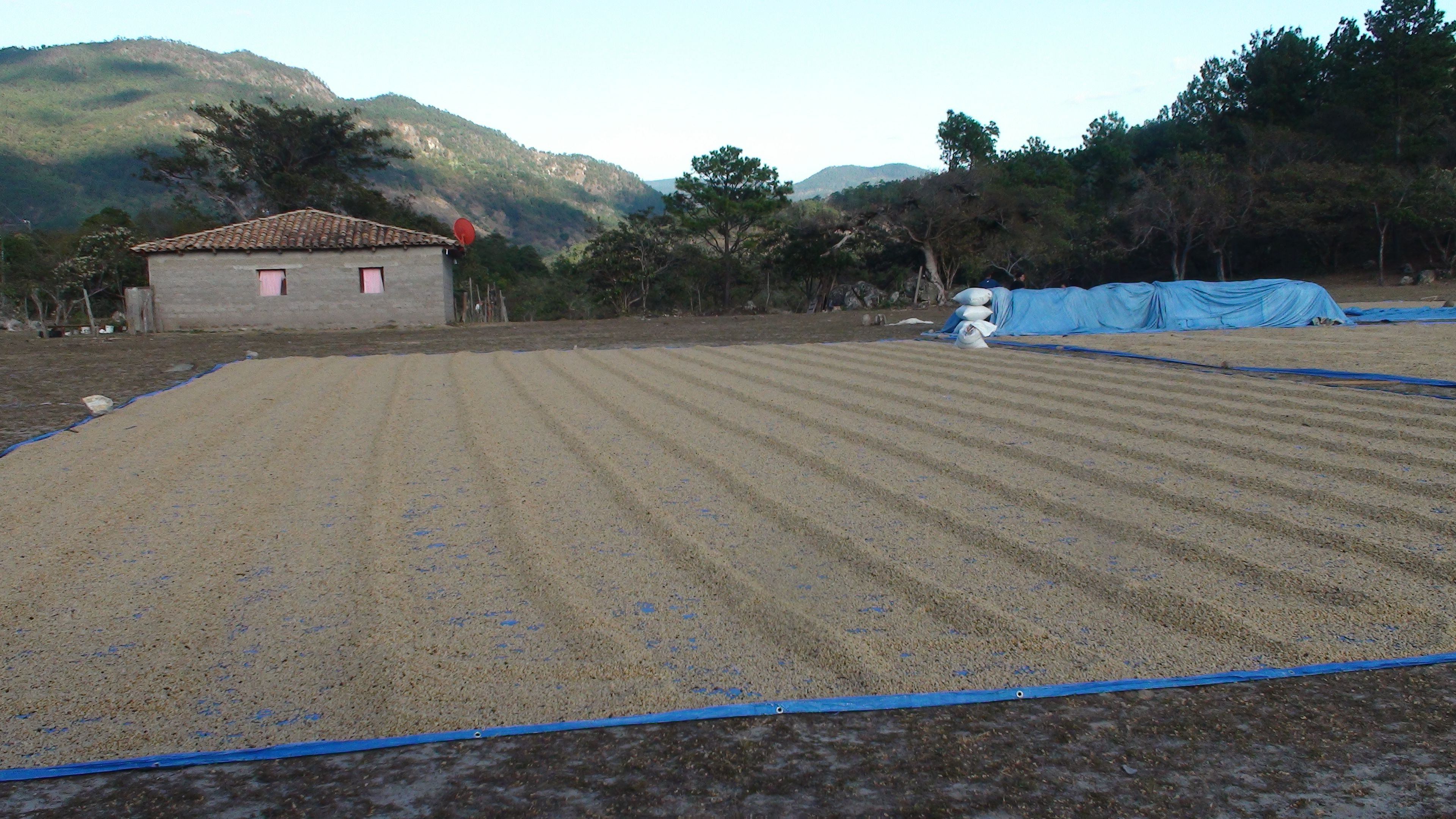 Honduras Jan. 2014 Medical/Dental Brigade, San Antonio Valle - Coffee beans that have been harvested laying out to dry