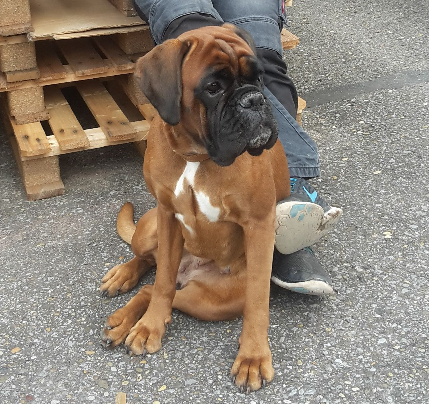 Pin By Daniela Hernandez On Boxer Honden Boxer Dogs Boxer Puppies Boxer Love