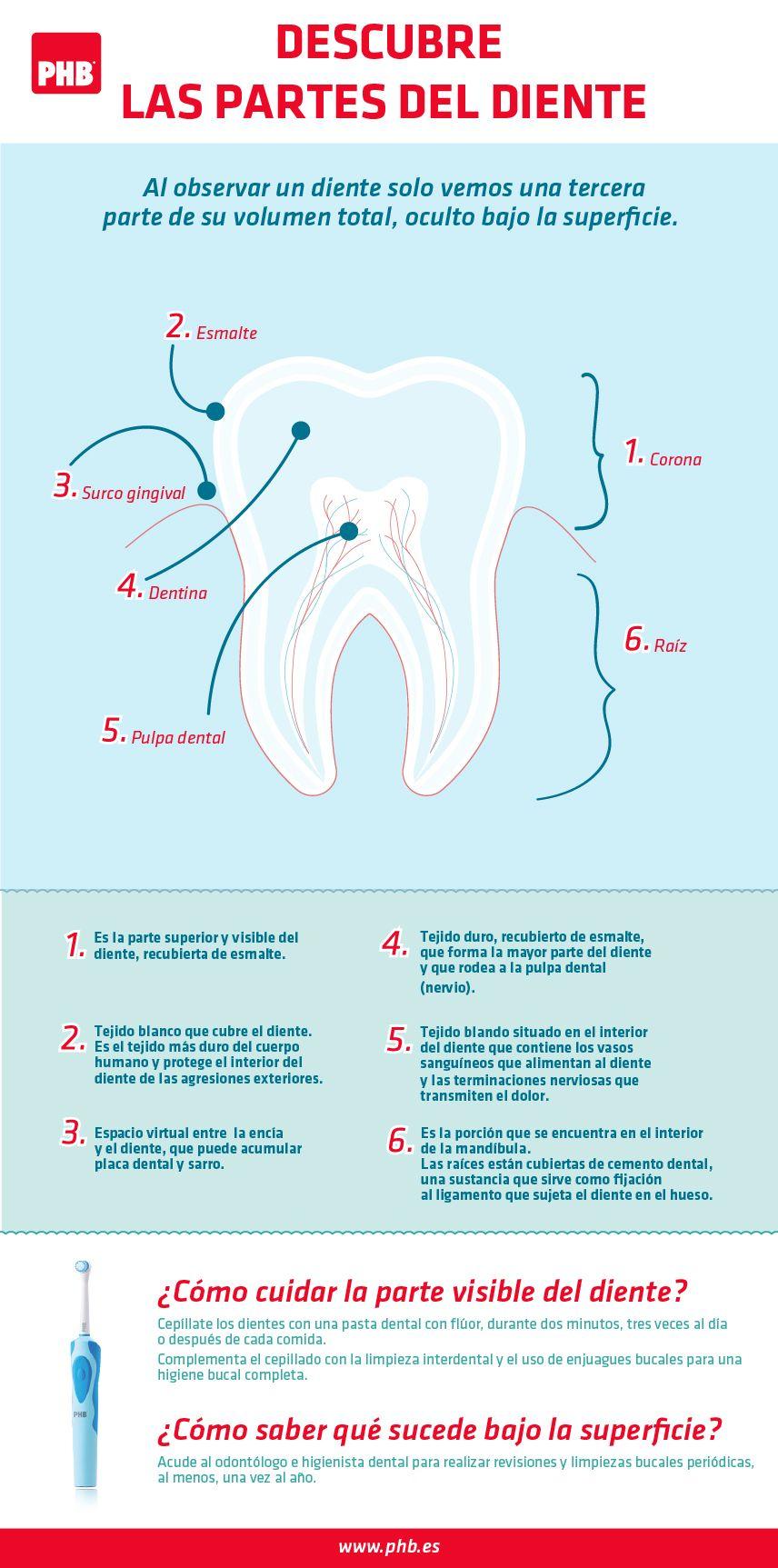 Descubre las partes del diente | DENTISTRY | Pinterest | Partes del ...