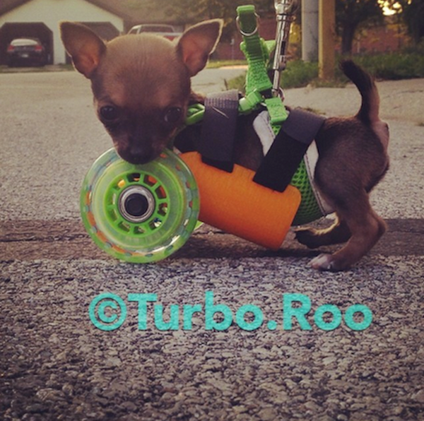 Adorable Turboroo Chihuahua Walks Thanks To A 3d Printed Wheelchair Chihuahua Adorable Thankful