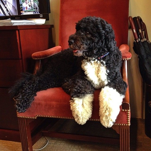 Bo (the First Dog), hanging out in outer Oval Office of The White House this morning, by Pete Souza.