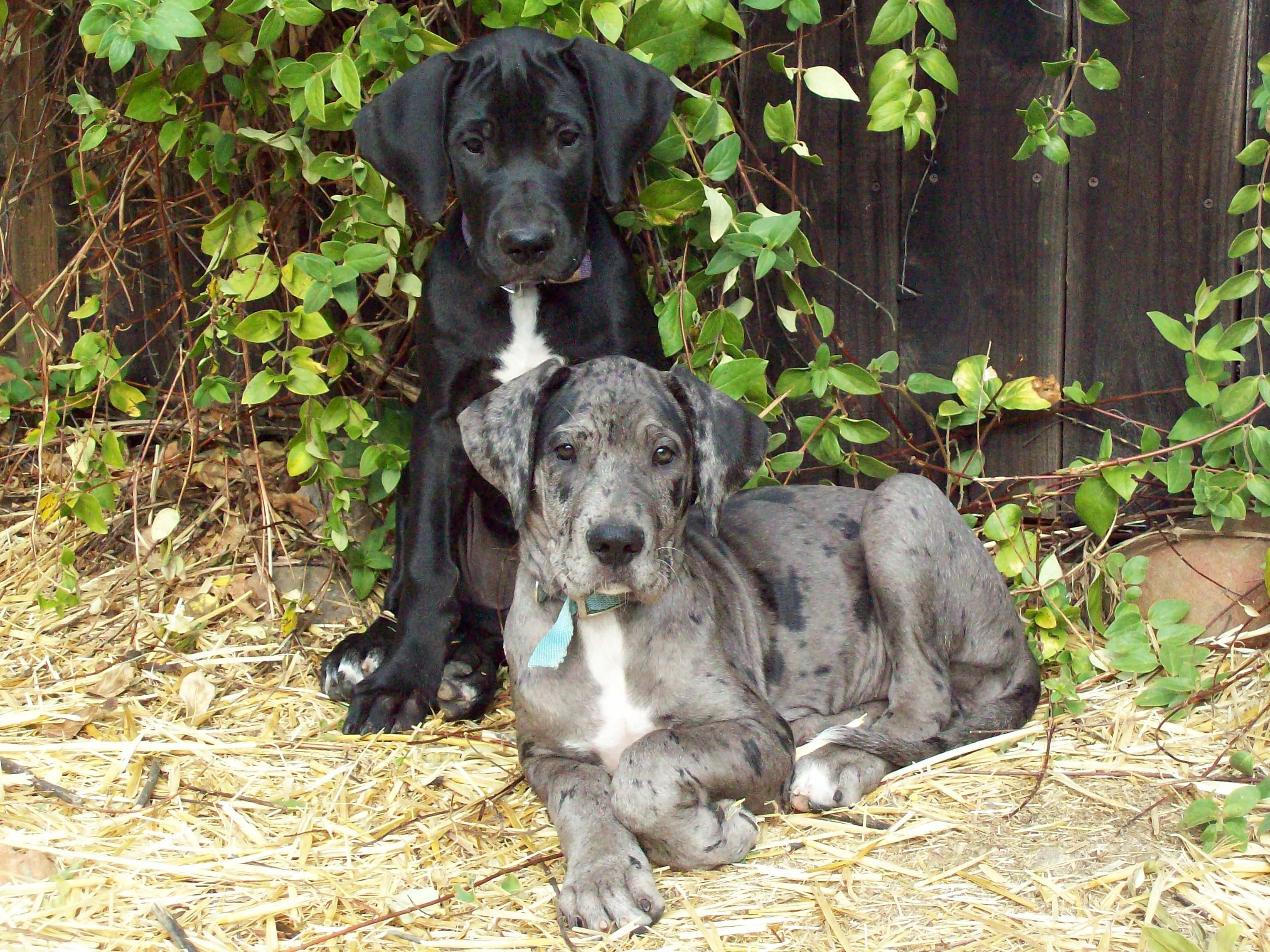 Great Dane Puppies Black And Blue Merle Zoe And Ziva From Our