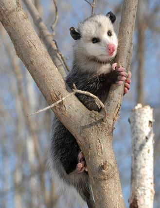 Opossum Native To The Virginia op...