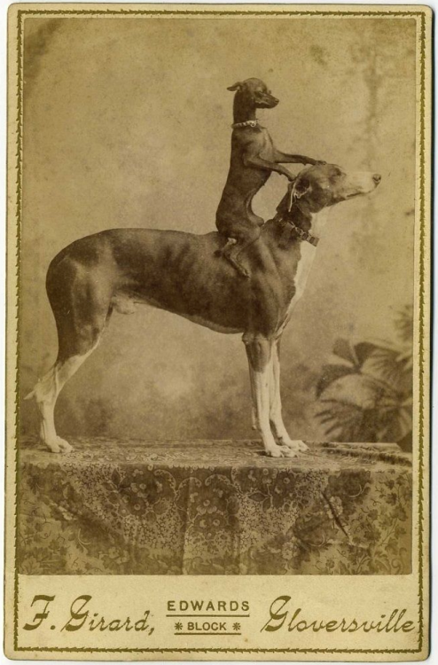 Chihuahua riding a Greyhound, 1880s via reddit - Historical Times