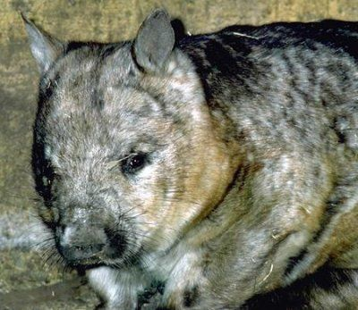 Wombats Wisdom Includes Ability To Change Within Strength
