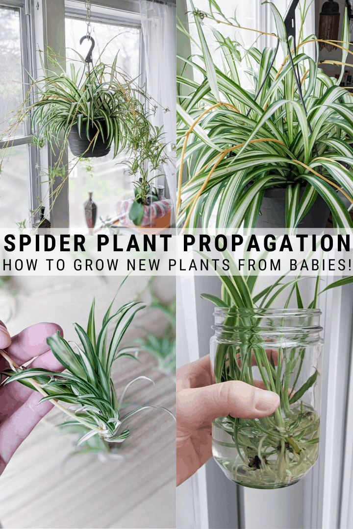 Wondering how to propagate spider plants? There are a few different ways, but today…