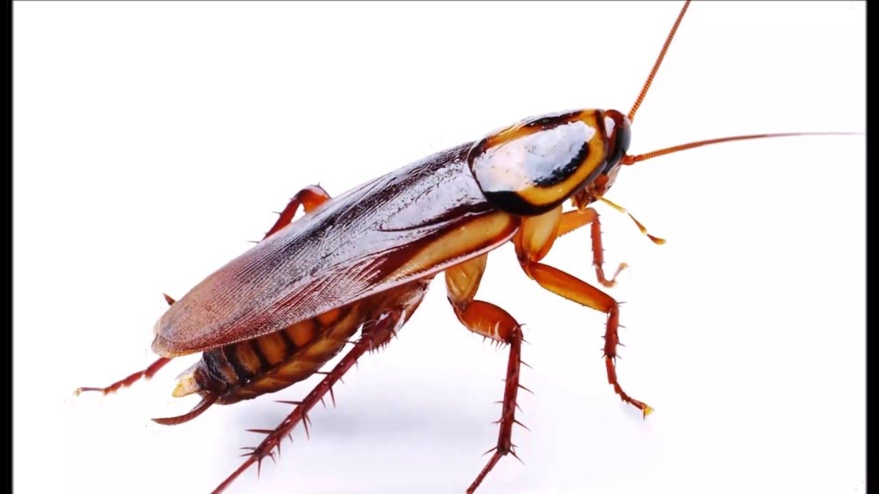 Pin By Maxime Guillemin On Cafards Best Pest Control Cockroaches