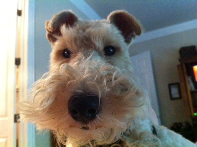 "Someone once said that Wire Fox Terriers are born with  about four times more original  sin than any other dog!!! I  would have to agree... I believe it was Jerome K Jerome of "" Three Men In A Boat"" fame who said it. If you own it's known !"