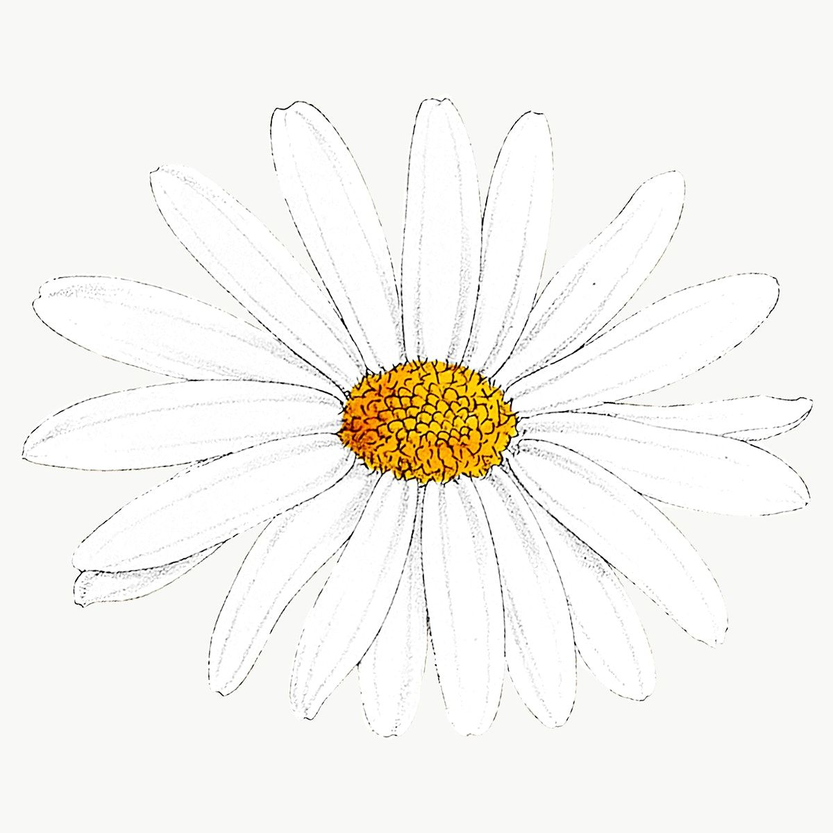 Hand Drawn White Flower Transparent Png Premium Image By Rawpixel Com Sasi Flowers Flower Illustration White Flowers