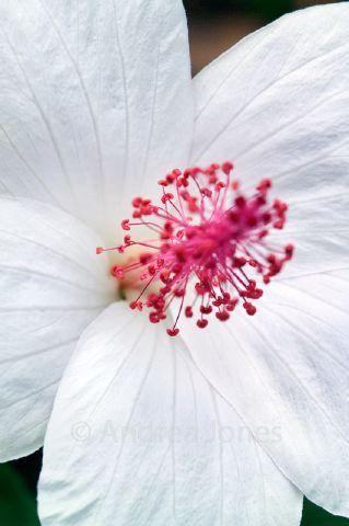 Hibiscus waimeae (Rose mallow, Hawaiian white hibiscus)