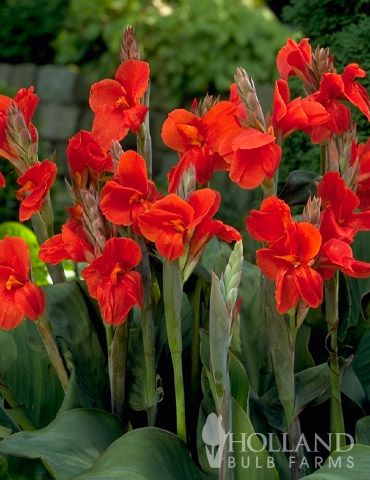 The President Canna Is Know For Its Extremely Vibrant And
