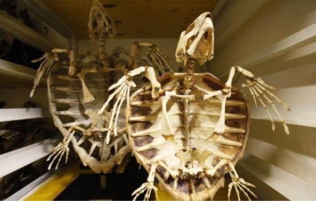 Conoce el origen del caparazón de las tortugas | animales ...