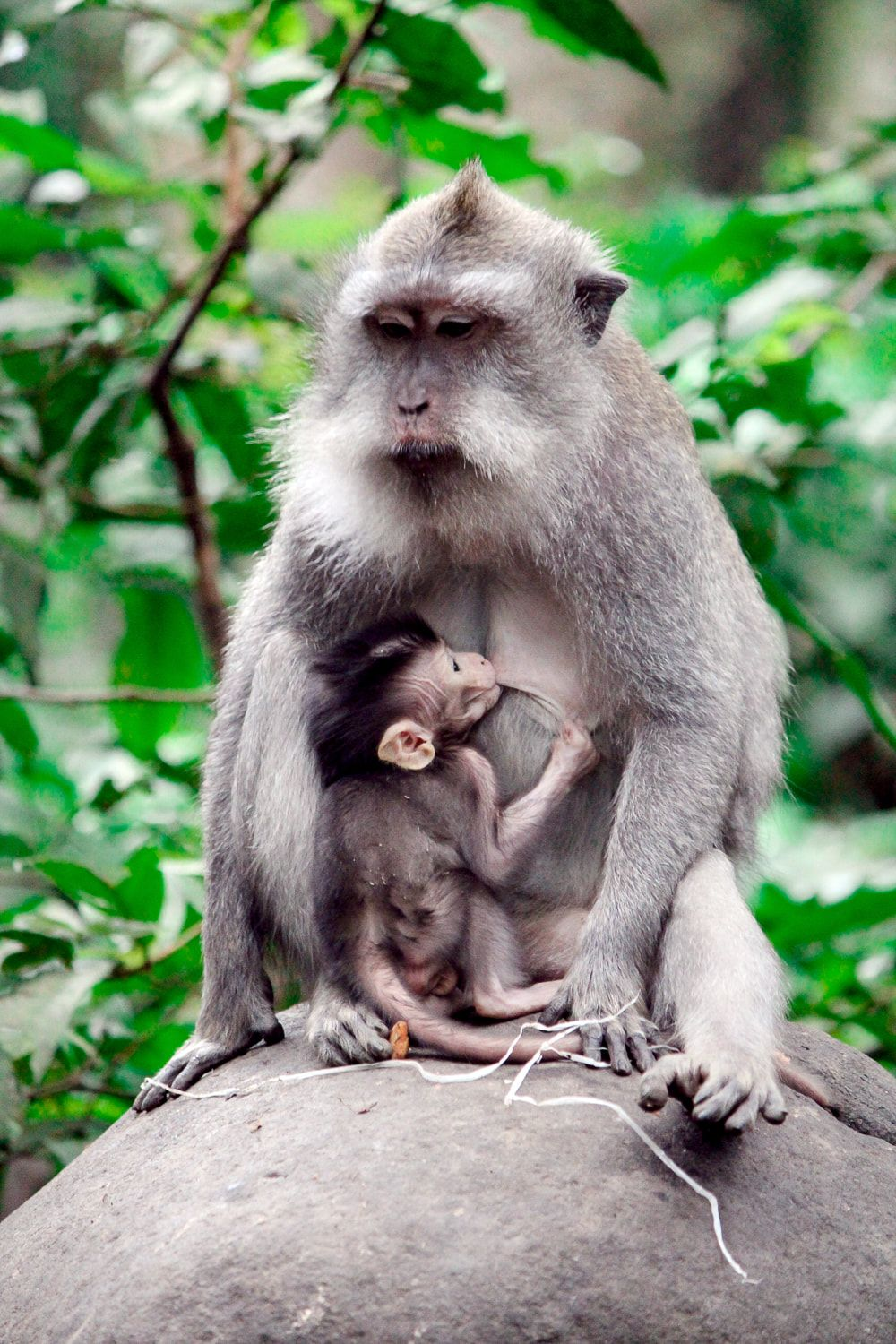 Grey Haired Long Tail Macaques Mother Feeding Baby Sacred Monkey Forest Sanctuary Ubud Bali Indonesia Baby Animals Animals Beautiful Monkey Forest