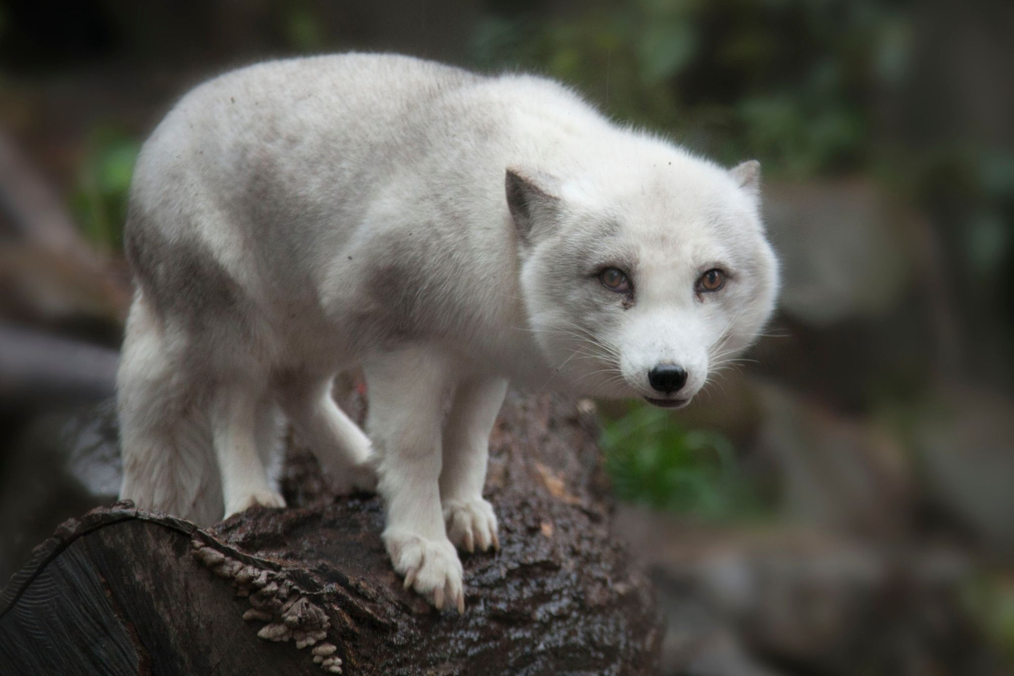Isatis The Arctic fox (Vulpes lagopus), also known as
