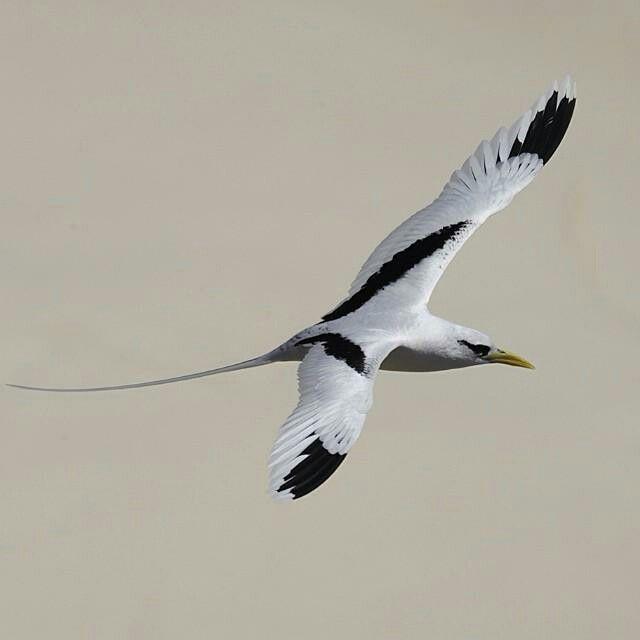 White-tailed tropicbird a regular breeding bird on many of the Seychelles islands