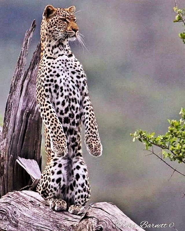 Leopard in standing position,just like our house cats