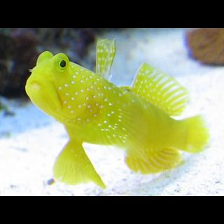 Yellow Watchman Goby Fish Cryptocentrus Cinctus Marine Fish Saltwater Aquarium Fish Saltwater Aquarium