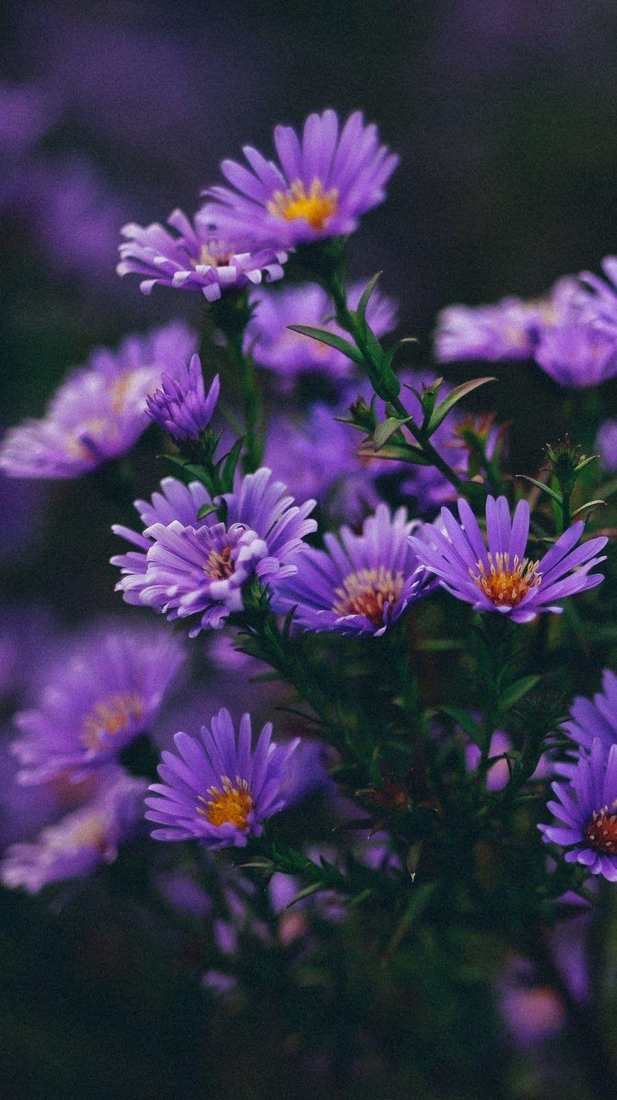 Purple Flower Blossom Purple Flowers Wallpaper Purple Wallpaper