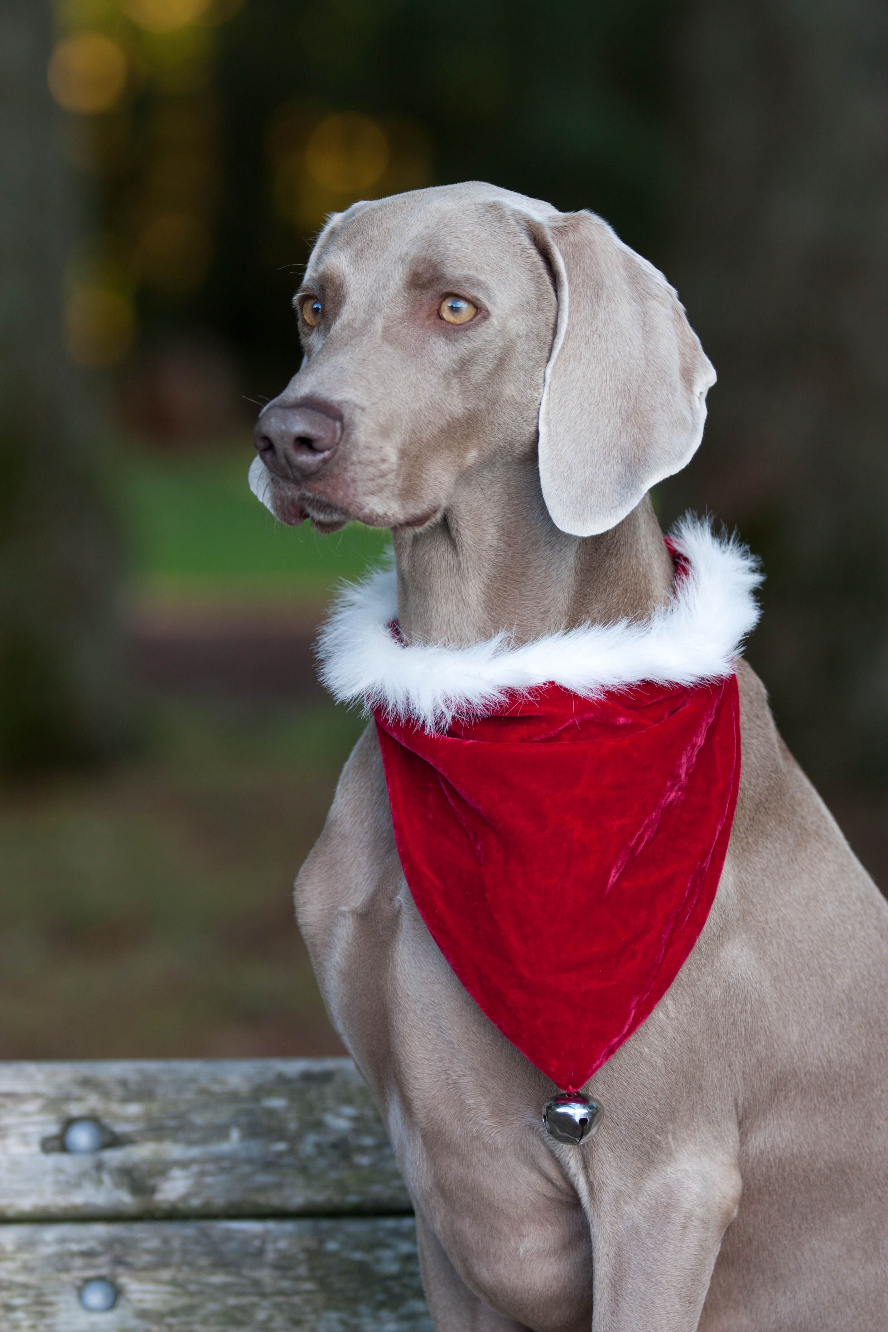 Tucker the holiday weimaraner Merry Christmas Card Puppy Holiday ...