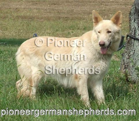 Variation Of The White Gene In German Shepherds Where The