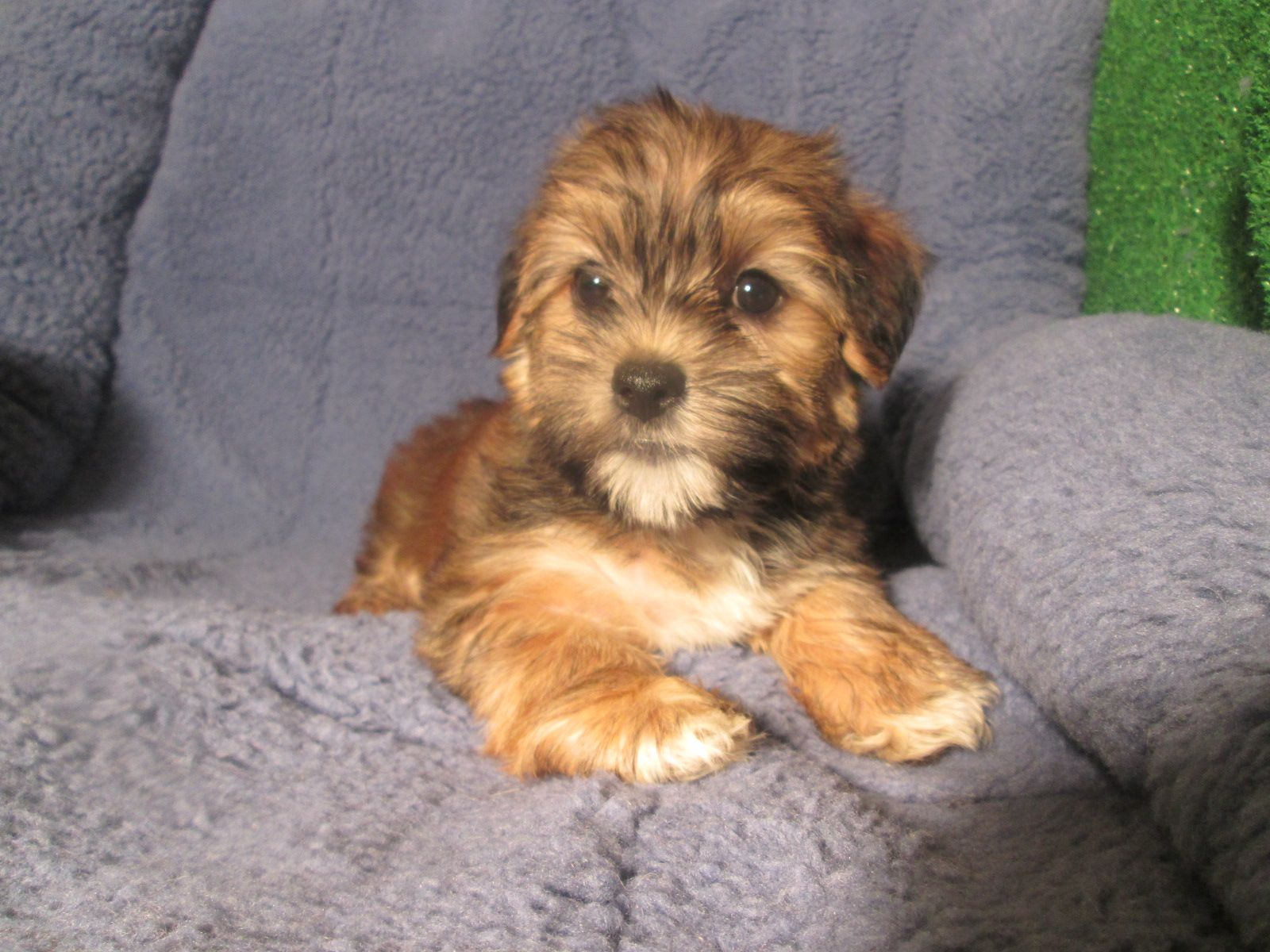 Yorkie Havanese Designer Mixed Breed Puppies Available! *8