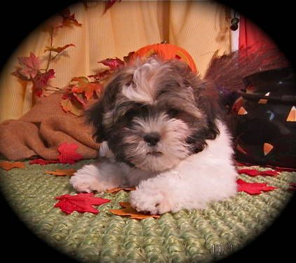 Buddy A Male Havashihtzu Puppy 9wks Puppies Dogs Dogs Puppies