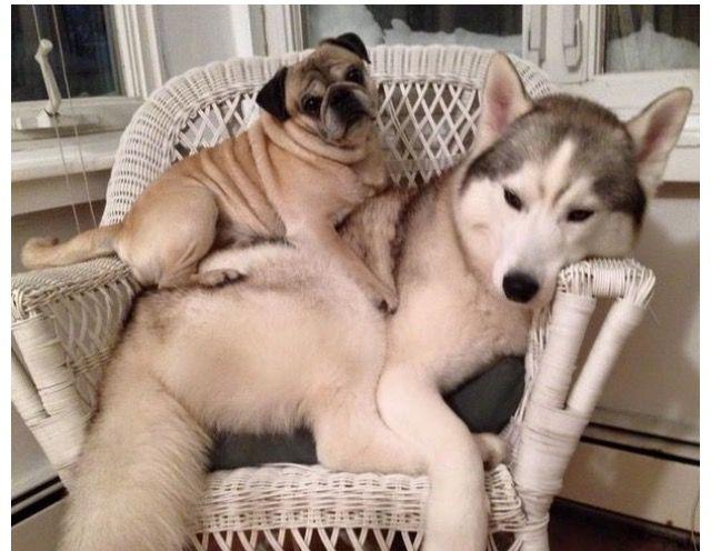 Nothing Like Having A Real Friend Pugs Cute Pugs Pug Life
