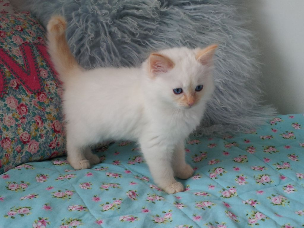 Red Point Siamese Ragdoll Cat Colors Siamese Kittens Cats