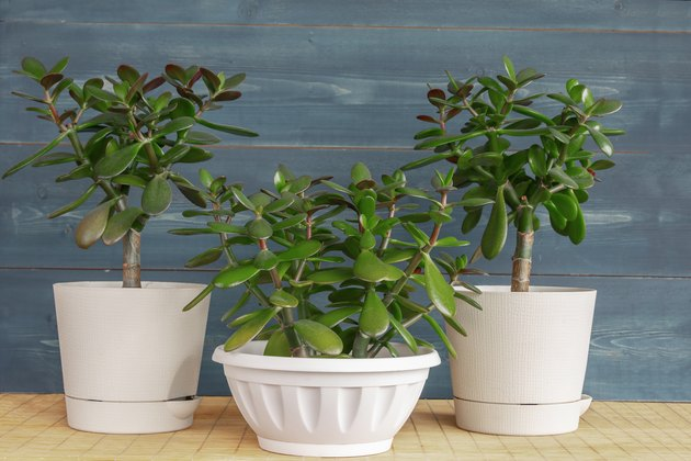 How And When To Prune Jade Plants Hunker Jade Plant Pruning Jade Plants Plants